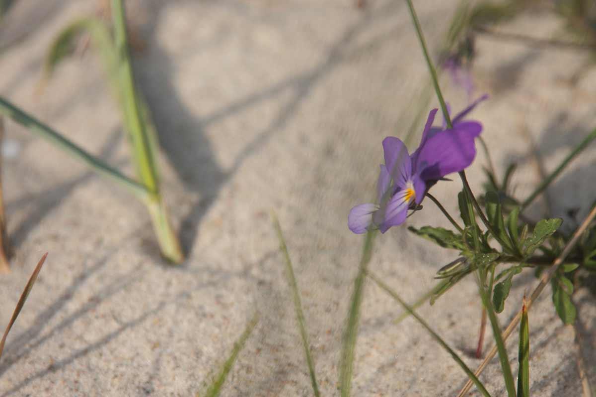 Blume in der Sanddüne